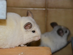 comp Chinchillas 201216